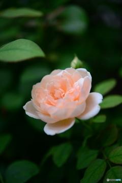 薔薇便り-59