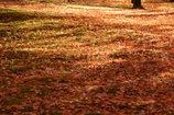 朱に輝く黄金色のじゅうたん