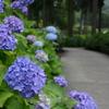 紫陽花の咲く道