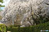 京都御所・近衛邸跡地の枝垂れ桜