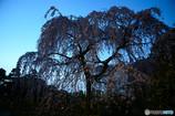 京都御所・出水の小川の枝垂れ桜
