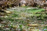 桜色に染まりゆく緑の絨毯