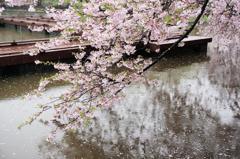 雨の日の桜 2