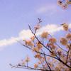 桜と飛行機雲と月と
