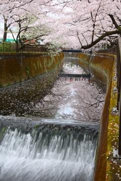 成城学園前近くの桜