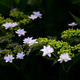 浮かぶ梅雨の花