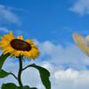 夏風そよぐ向日葵畑