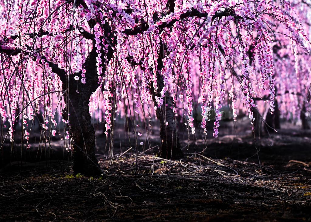西陽さす枝垂れ紅梅
