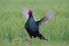 美しき国鳥Ⅵ
