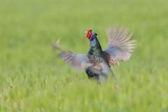 美しき日本の国鳥Ⅱ