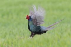 美しき国鳥Ⅰ