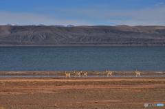 湖畔ガゼル