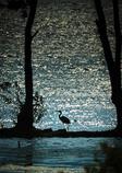 午後のキラメキと青鷺のシルエット