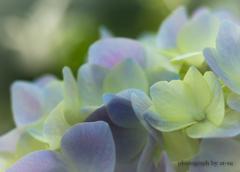 岐阜公園の紫陽花