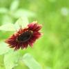 飛来する向日葵