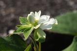白い花弁に見える部分は総苞です
