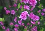 君はバラのように美しい