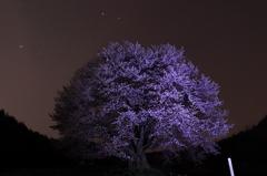 夜の天王桜