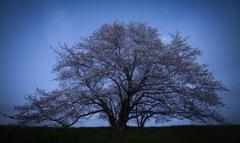 月夜の一本桜