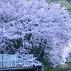 「中野駅の桜」