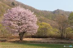春色の一本桜