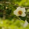 沙羅の花(ナツツバキ)
