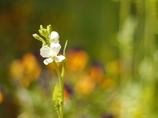 葉大根の花