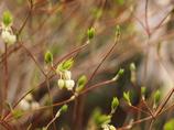 どうだんつつじの新芽と花