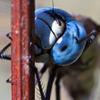 掃除中 (Aeshna affinis)