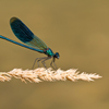 Calopteryx splendens (カワトンボ科)