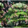 NIKON NIKON D5で撮影した(「花見」 小江戸川越散歩152)の写真(画像)