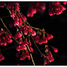 NIKON NIKON Dfで撮影した(寒緋桜(カンヒザクラ) 小江戸川越68)の写真(画像)