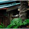 NIKON NIKON D3Sで撮影した(川越散歩 028  雨の日の猫)の写真(画像)