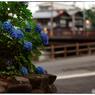 NIKON NIKON Dfで撮影した(「夕暮れの紫陽花」 小江戸川越散歩134)の写真(画像)