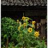 NIKON NIKON D5で撮影した(「ひまわり娘」 小江戸川越散歩136)の写真(画像)