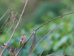 晩秋の小鳥 ジョウビタキ ♀