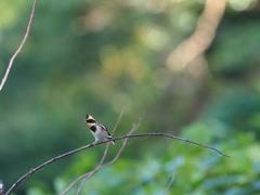 晩秋の小鳥 ミヤマホウジロ