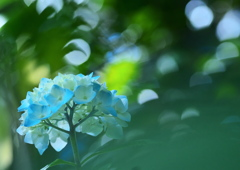 紫陽花 in blue forest