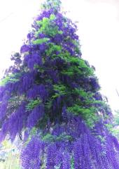 初夏のクリスマスツリー 推され隊カラー(緑と紫)バージョン