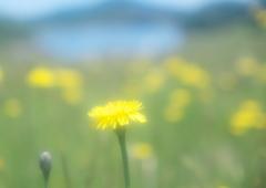 タンポポの咲く丘