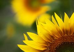 夏・花・向日葵