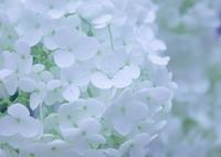 可憐花ノクターン