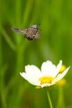 花に舞う コアオハナムグリさん