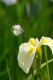花菖蒲に舞うモンシロチョウ