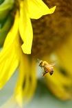 ミツバチさん ヒマワリに舞う