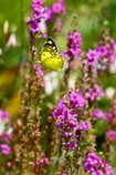 花々の中に舞う  モンキチョウ