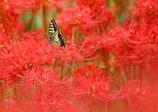 彼岸花に舞う キアゲハ1