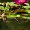 睡蓮池をペア飛行   ギンヤンマ