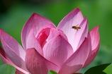 ミツバチさん 蓮に舞う