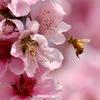 春の喜び♪     ミツバチさん